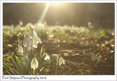 Snowdrops and sun glare (Paul Simpson Photography) Tags: snowdrops snowdrop glare overexposed paulsimpsonphotography imagesof imageof photoof photosof nature naturephotography sonya77 flowers february2018 leaves twigs elshamhall