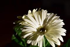im Schatten des Winters // in shadow of winter (Pixelchen1) Tags: nikon5500 nikonafs35mm114g shadow schatten flowers blumen darkness dunkelheit light licht edited bearbeitet