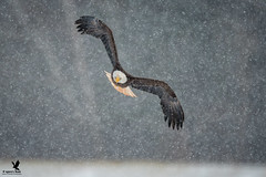 Coming to Get You! (Osprey-Ian) Tags: eaglewatch2018 canada novascotia