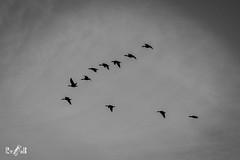 Geese in black and white (Renate van den Boom) Tags: 01januari 2018 bemmelsewaard europa gelderland grauwegans jaar maand nederland renatevandenboom stijltechniek vogels zwartwit