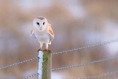 'Enchanted' (benstaceyphotography) Tags: bluehour barnowl wildlife talons nature raptor birdofprey owl perched snow bird winter twilight tytoalba nikonuk