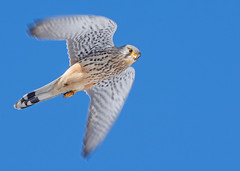 Kestrel (Wouter's Wildlife Photography) Tags: kestrel falcotinnunculus bird birdsofprey predator nature naturephotography wildlife wildlifephotography billund inflight falcon raptor