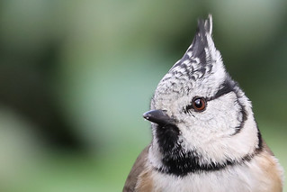 Crested tit 1166