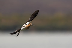 American Avocet (nikunj.m.patel) Tags: avocet shorebird nature wild birds bif flight outdoors nikon photography photo