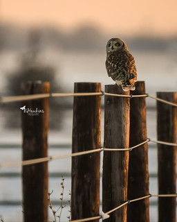 Short Eared Owls or Shorties for short (Explore)