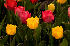 Colorful Tulips 3-0 F LR 4-22-17 J064 (sunspotimages) Tags: flowers flower tulips tulip red redflower redflowers redtulips redtulip yellow yellowflower yellowflowers yellowtulip yellowtulips nature
