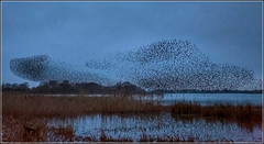 Starlings (Ed Phillips 01) Tags: birds starling murmuration staffordshire nature spectacle