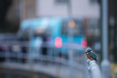 Urban Kingfisher (Daniel Trim) Tags: common kingfisher king fisher bird birds birding animal wildlife nature urban alcedo atthis city town hertfordshire