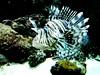 lionfish (Linda DV) Tags: lindadevolder lumix panasonic zooantwerpen zoo cityzoo animalpark fauna nature geotagged geomapped 2018 belgium lionfish pterois scorpaenidae scorpaeniformes ribbet