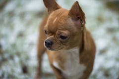 Min chihuahua Smulan solo i snön (annacajem) Tags: chihuahua snow sweet fotosondag solo fs180204