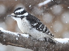 Snow and Ice (DaPuglet) Tags: woodpecker woodpeckers downywoodpecker downy bird birds animal animals nature wildlife winter storm ice snow freezing ontario coth5 fantasticnature ngc npc wwshowcase