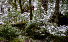 Old Growth Forest (rich trinter photos) Tags: mountrainier winter ashford washington unitedstates us landscape oldgrowth forest snow trinterphotos