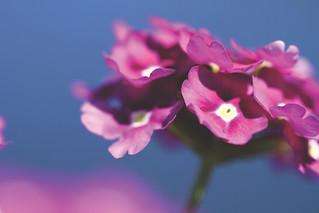 7DWF....Flora....Verbena