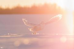 ''Lumineuse brise!'' Harfang des neiges-Snowy owl (pascaleforest) Tags: bird oiseau owl hibou snowy bokeh snoe neige winter hiver cold froid lumière light passion nikon nature aniaml wild widllife faune québec canada contrejour sky ciel