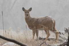 February 4, 2018 - A White-tailed Deer doe in the snow. (Tony's Takes)