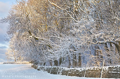 A crisp winter wonderland of a morning in the Yorkshire Dales. Early morning light reflected in the snowy trees. (Wend's photography) Tags: winter winterscape wonderland crisp morning sunrise snow snowscape england yorkshire dales yorkshiredales frost stone wall early light scenery scenic rural farming countryside atmosphere britain english landscape photography northyorkshire northyorks north trees uk wendsphotography wwwwendsphotographycouk