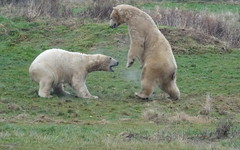 """Nissan is no match for Mega-Pixel 😂 (LadyRaptor) Tags: yorkshirewildlifepark yorkshire wildlife park doncaster ywp nature outdoors winter grass cold icy misty breath play playing fight fighting crouching attacking sparring happy fun relaxed """"best friends"""" bffs cute animal animals predator carnivore caniformia ursidae polarbear polarbears male polar bear bears ursusmaritimus projectpolar pixel nissan"""