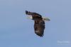 Young Bald Eagle flyby (TonysTakes) Tags: eagle baldeagle raptor bird wildlife colorado coloradowildlife weldcounty