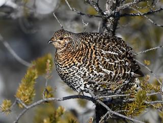 Tétras du Canada femelle - Spruce Grouse