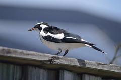 Magpie-lark (Grallina cyanoleuca) (Urban and Nature OZ) Tags: magpielark lark bird goldcoast