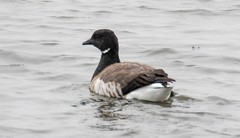 _U7A4062 (rpealit) Tags: scenery wildlife nature edwin b forsythe national refuge brigantine brant goose bird
