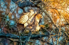 At sunset a Red Tail Hawk landing on a tree branch. (Mike3351) Tags: sunset flight hawk red tail landing flying trees branch