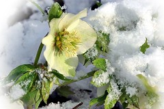 Mes hellébores sous la neige (mamietherese1) Tags: itsallaboutflowers fleursetpaysages earthmarvels50earthfaves ngc world100f phvalue beautifulrealm