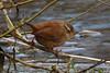 074.jpg (Kico Lopez) Tags: miño lugo spain chochíncomún galicia birds troglodytestroglodytes aves rio