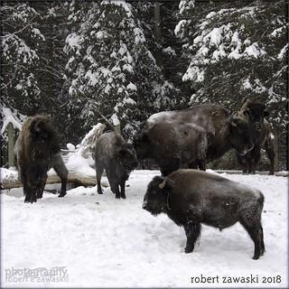 buffalo prose
