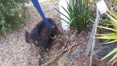 21430627_10213829098828592_7141460635927848971_n (natedetienne) Tags: ash tibetan mastiff puppy tm