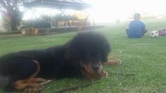25157944_10214628505693264_6641140090790944346_n (natedetienne) Tags: ash tibetan mastiff puppy tm