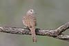 Inca Dove (Alan Gutsell) Tags: birds bird wildlife nature wildlifephoto alan southtexasbirds inca dove incadove pigeon
