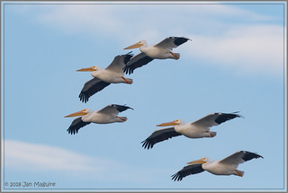 American White Pelicans 3479