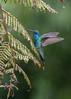 Sparkling Violetear (Tris Enticknap) Tags: sparklingvioletear kosñipatavalley southamerica peruvianandes nikond750 peru nikkor300mmf4epfedvrlens andeanmountains colibricoruscans lowlandcloudforest