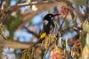 New holland honeyeater (crispy1612) Tags: new holland honeyeater baranduda north east victoria birdlife nikon d750 70200 f28