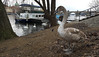 Swans alongside the River Vltava, Prague 2017 (Daves Portfolio) Tags: prague praha 2017 swan swans cygnet birds muteswan bird charlesbridge