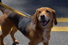 Cute Looks (swong95765) Tags: canine animal dog leash alert aware watching street