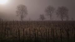 Misty Power (PixTuner) Tags: nebel fog düster wald feld forrest field corn mais baum sun sunset sunrise sonne sonnenaufgang sonnenuntergang tree mist misty mystical finster gloomy dark art pixtuner