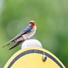 Welcome Swallow (Hirundo neoxena) (Arturo Nahum) Tags: australia aves animal arturonahum ave airelibre birdwatcher bird birds wildflife wild nature naturaleza naturephotography pajaro pajaros welcomeswallow hirundoneoxena