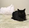 Puddy (rootcrop54) Tags: puddy longhair longhaired black female neko macska kedi 猫 kočka kissa γάτα köttur kucing gatto 고양이 kaķis katė katt katze katzen kot кошка mačka gatos maček kitteh chat ネコ