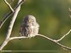 Collared Owlet (Glaucidium brodiei) (gilgit2) Tags: abbottabad avifauna birds canon canoneos7dmarkii category changlagali collaredowletglaucidiumbrodiei fauna feathers geotagged imranshah kpk location pakistan species tags tamron tamronsp150600mmf563divcusd wildlife wings gilgit2 glaucidiumbrodiei