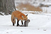 Renard roux (richardboucher1) Tags: fox renard goupil