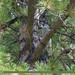 Spotted Nutcracker (Nucifraga caryocatactes)