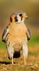 American Kestrel (gilamonster8) Tags: yellow american kestrel hawk falcon raptor bird animal grass park urban ngc color canon common arizona wing white explore explored eos eyes ef400mm56l desert flickrelite view tucson talons gray bokeh beyondbokeh beak black brown 7dmarkii