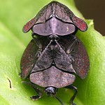 Tortoise beetles mating, Stolas coalita, Cassidinae thumbnail