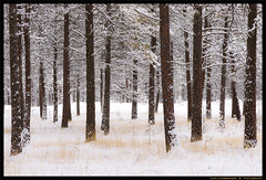 Through the Trees (Dave Stromberger) Tags: winter pinetrees trees snow