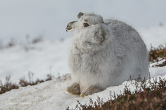 Mountain Hare (waynehavenhand1) Tags: animal mountain scottishhighlands mountainhare hare