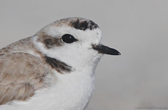Snowy Plover Close-up (Cameron Darnell) Tags: snowyplover nature 2018 january beach florida plover cameron tamron canon birding sand headshot close