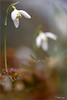 The magical world of the snowdrops. (valpil58) Tags: bucanevi snowdrops bokeh macroart wildflowers sigma105mm nikond7200