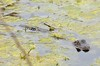 O2K_3895 (68photobug) Tags: 68photobug nikon d7000 sigma 150500mm usa centralflorida polkcounty lakeland circlebbar reserve preserve refuge park marsh sanctuary wetlands pinescrub nature naturecenter discoverycenter environmentalcenter wildlifemanagement alligatoralley gators alligator americanalligator lurking